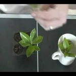 How to Clone any plant for hydroponic or regular gardening