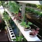Hydrokultur Garten mit PVC-Rohr Medien | Hydroponic Gardening with pvc Pipe Media