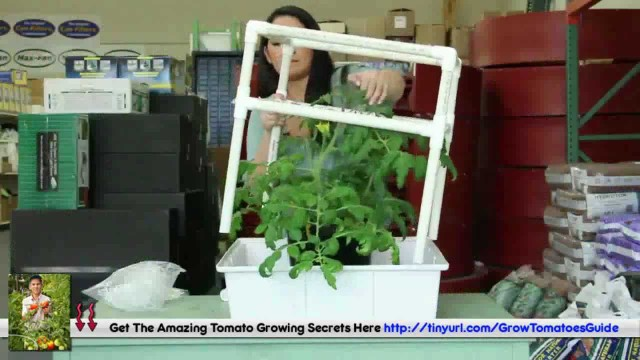 Upside Down Tomato Grower – Can You Prune Tomato Plants ?