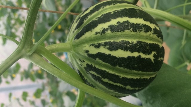 Hydroponic Vertical Melons