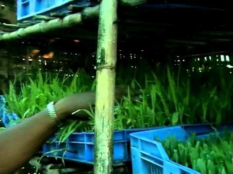 Production of Green Fodder By Hydroponic Method Dist-Satara