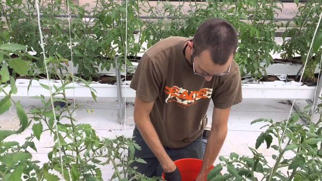 Five College Farms tour of the organic hydroponic heirloom tomato greenhouses