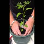 How to grow chillies hydroponically – Setting up a seedling   Carbie's Chillies