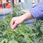 Growing Tomatoes Hydroponically