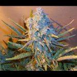Cannabis marijuana hydroponics Grow room Blue mystic PAPAYA sativa indica THC