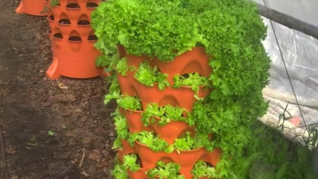 Purple Frog Gardens & Farm growing local food with Garden Towers