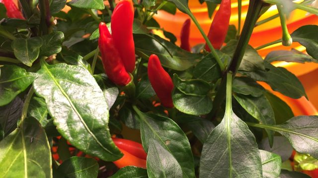 Hydroponic Vs Soil Peppers – Can You Taste The Difference – Part2
