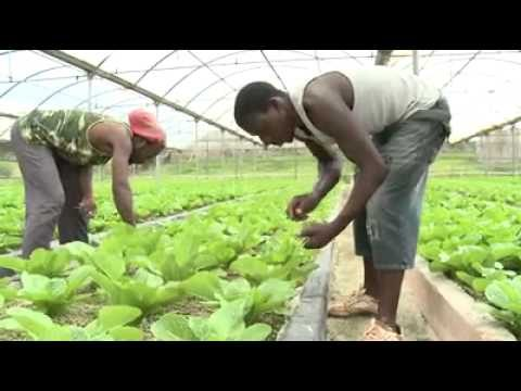 HYDROPONICS  CHANGING THE AGRICULTURAL LANDSCAPE IN JAMAICA HD 2