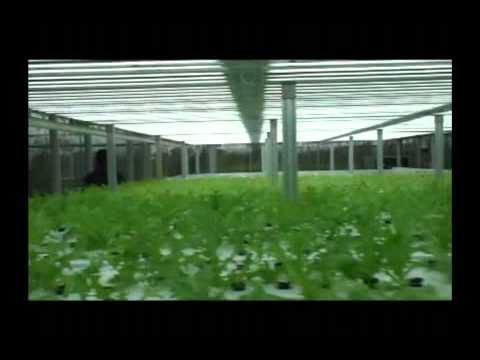 Vertical Hydroponic Factory of Leafy-Vegetables