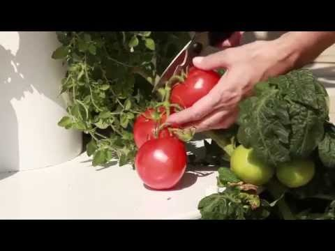 How to Harvest Tomatoes from Your Tower Garden