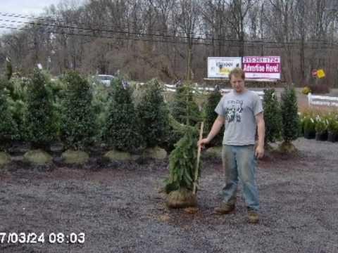 Tree farm education how to plant Ambler bucks Coun