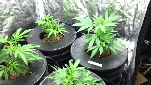 GROWING WEED IN A HYDROPONIC SYSTEM – DWC (DEEP WATER CULTURE)