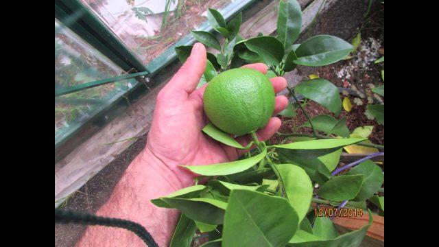 Growing an Orange Tree in Hydroponics Part 2
