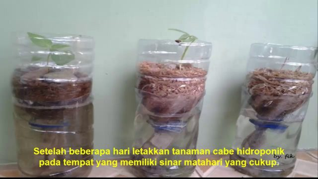 Menanam Cabe dalam Botol Bekas tahap Awal (hydroponic sistem)