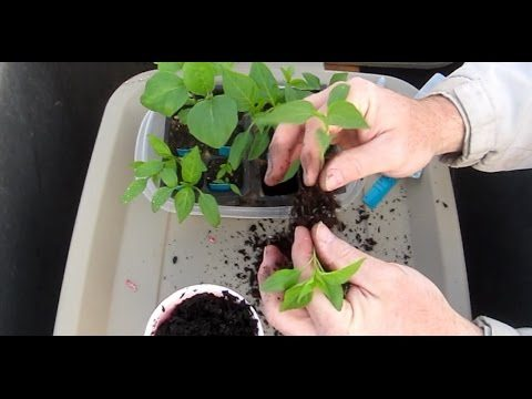 Seedling to Transplant (Peppers & Eggplant)