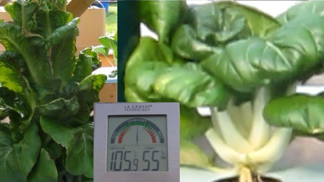 Lettuce & Pak Choi at 105°