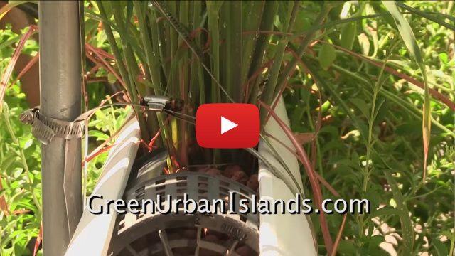 Growing Lemon Grass In A PVC Hydroponic Garden
