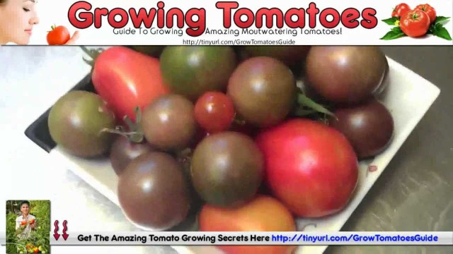 Growing Tomatoes In Greenhouses – Hanging Basket Tomatoes