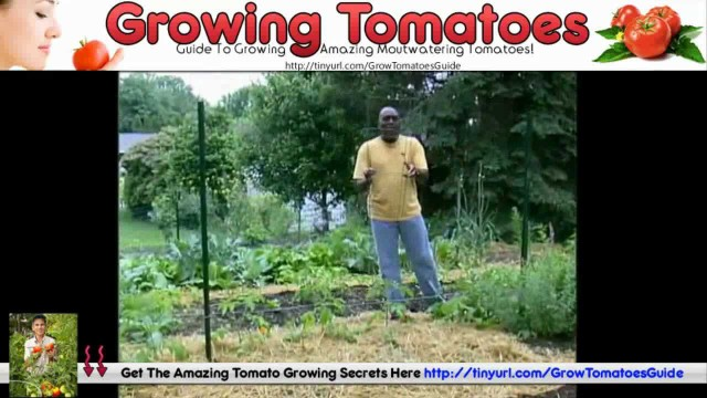How To Grow Tomatoes At Home – Best Growing Tomatoes