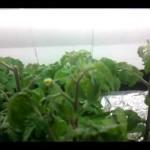 Hydroponic Cherry Tomato T5 Experiment