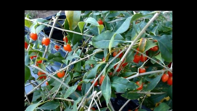 Hydroponic Goji Berries