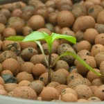 How to Start a Hydroponic Pepper – Growing Indoors