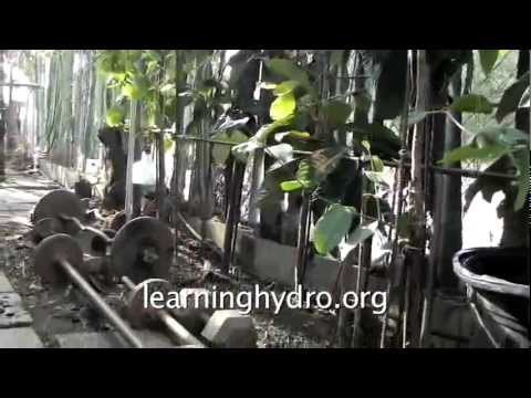 Hydroponic fruit trees for an urban walkway — grow for shade and transplanting