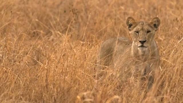 "Onward: ""Living Walls"" Protect Lions, Livestock"