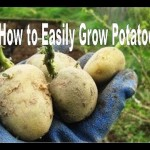 How to Successfully Grow Potatoes – Organic Vegetable Gardening