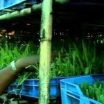 Production of Green Fodder By Hydroponic Method Dist-Satara