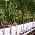 Update Dutch Bucket Hydroponic Tomatoes Oct 2012 HD