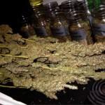 600W Hydroponic DWC Cannabis Grow – 23oz Harvest