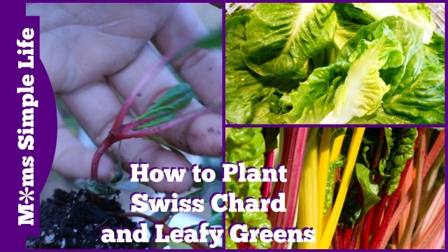 Mittleider Gardening Method:  How to Plant Swiss Chard and Leafy Greens