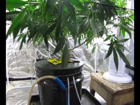 DWC Hydroponic System Cannabis Monster ukCheese single plant