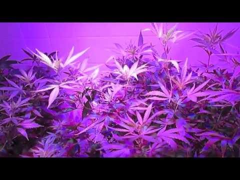 Herbin Farmer – Flushing Hydroponic Cannabis