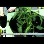 Growing Hydroponic Tomatoes – Small Tomato Plants