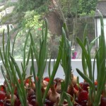 An experiment at growing Onions hydroponically (and a peek at a lemon tree) ~ Republic Hydroponics