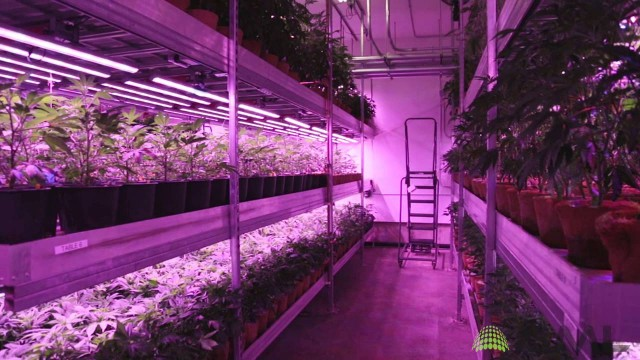 Cannabis Vertical Farm with LED Grow Lights from BML Horticulture