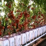 Dutch Bucket Hydroponic Tomatoes – Lessons Learned and a New Crop
