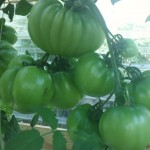 Deep Water Hydroponic System- Easy to Grow Tomatoes