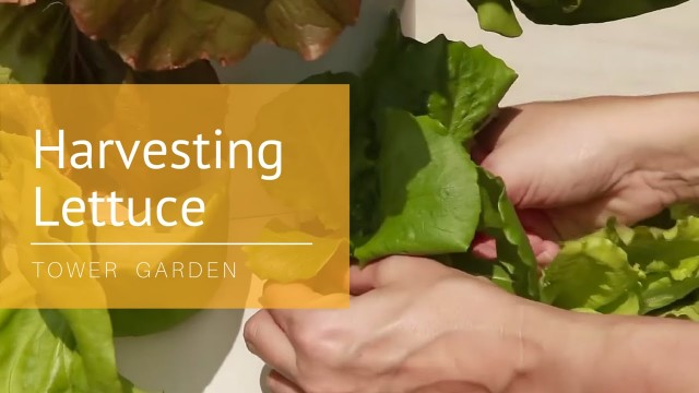 How to Harvest Your Tower Garden® Lettuce: Tower Tips