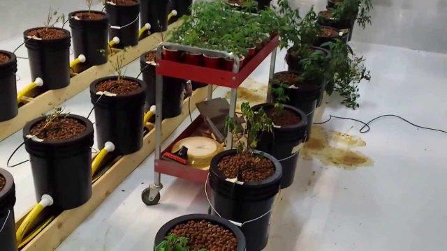 Hydroponics Marijuana Medical Grow  Failed first attempt