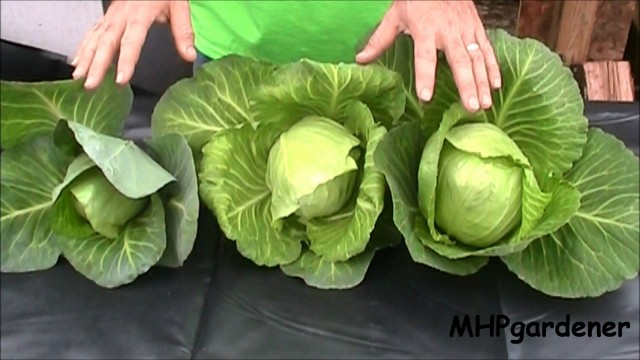 Hydroponic Cabbage – Yes You Can !