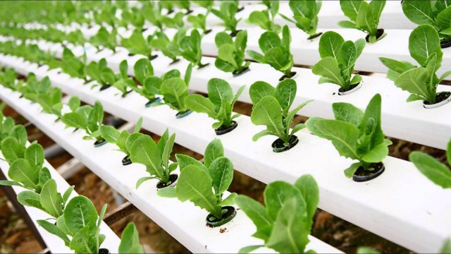 hydroponics culture methods are being used