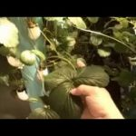 Commercial Vertical Strawberry Hydroponics System
