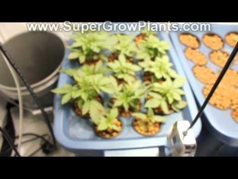 Home Made Hydroponics Marijuana Weed Indoor Grow Kit 600 watt HPS Autoflower Purple Jems
