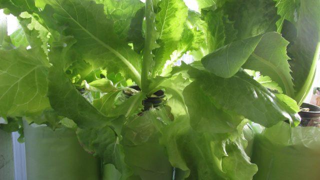 Micro Hydroponics!!  (Grow Greens All Winter!)