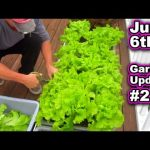 Container Garden Harvest Update June 6th Lettuce Tomato Kale Vegetable Gardening Raised Bed