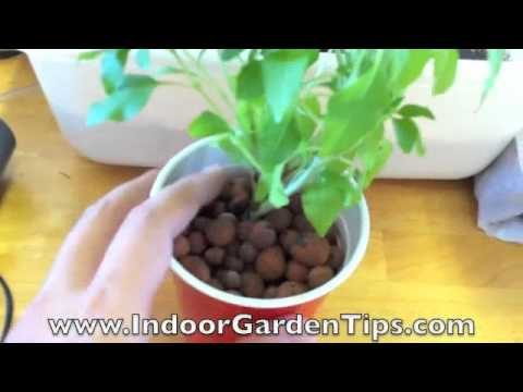 Indoor Garden Tips – Hydroponics – Transplanting Herbs From Containers To Hydroponic System