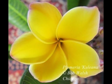 Tropical Plants – Plumeria Flowers In Chicago – Plant Hardiness Zone 5